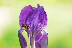 Bee on iris Stock Photos