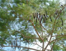 Stock Photo of carob tree