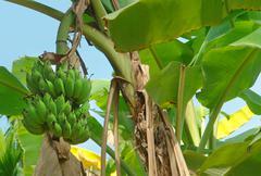 banana plant - stock photo