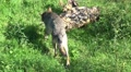 Wolf walking away from camera direction and sit on dead tree Footage