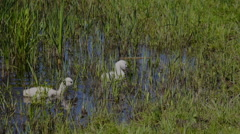 Young mute swans Stock Footage