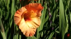 Gladiolus, orange/peach Stock Footage