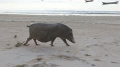 Fat pig walking along sandy beach Stock Footage