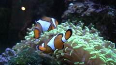 Clown fish (like nemo) swim near anemones in enclosed tank silent Stock Footage