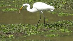Great White Egret with a frog in its beak Stock Footage