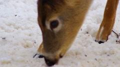 Closeup deer rooting in the snow Stock Footage