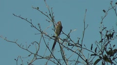 Red-faced Mousebird clinging onto a branch Stock Footage
