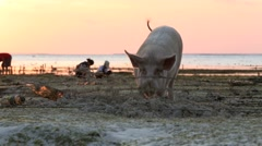 Pig rooting in sand on beach at low tide amongst seaweed farms Stock Footage
