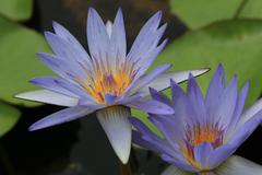 Water Lily flowers with raindrop Stock Photos