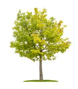 Isolated red oak tree on a white background Stock Photos