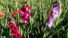 Gladiolus, magenta/violet/red - stock footage