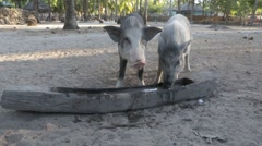 Pigs feeding from wooden trough Stock Footage