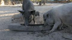 Pigs feeding from trough Stock Footage
