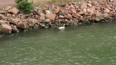 Whooper swan (Cygnus cygnus) in Turku Finland Stock Footage