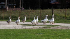 White Gooses HD Stock Footage