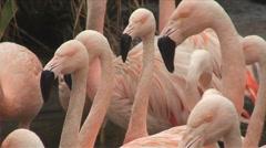 Group of Pink Flamingos CloseUp HD Stock Footage