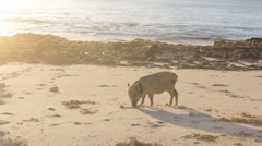 Piglets rooting in sand on beach Stock Footage
