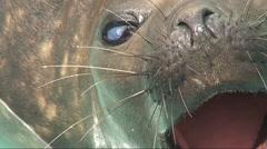 Sea Lion Close Up HD Stock Footage