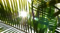 Closeup on Green Palm Leaves with Sun. Slow Motion. HD Footage
