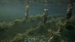Underwater view of seaweed farm with pieces of weed tied onto lines - stock footage