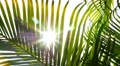 Sunbeams through Green Palm Leaves. Slow Motion. HD Footage