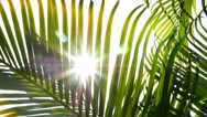 Stock Video Footage of Sunbeams through Green Palm Leaves. Slow Motion.