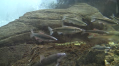 minnows and other small fish swim against the current in simulated stream - stock footage