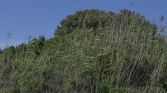 Reeds (Giant Cane - Arundo donax) swayed by the wind. Stock Footage