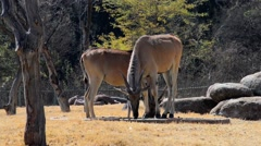 Two Common Eland Antelope Graze, HD, 1080 Stock Footage