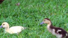 fuzzy ducklings - stock footage
