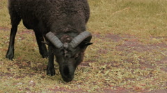 Black sheep concept Stock Footage
