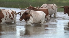 Long Horn Cattle Crossing River 2 Stock Footage
