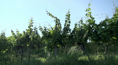 Close up shoot of passing by the vineyard Stock Footage