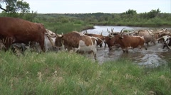 Long Horn Cattle Crossing River 8 Stock Footage