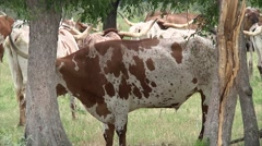 Long Horn Cattle in Pasture Close up Stock Footage