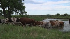 Long Horn Cattle Crossing River With Cowboys Stock Footage