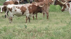 Long Horn Cattle in Pasture With Cowboys 2 Stock Footage