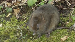 Water Vole (Arvicola amphibius) at waters edge eating Stock Footage