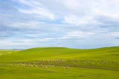 A group of sheep eat grass on the grasslands - stock photo