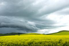 Rape field under black clouds before rainstorm Stock Photos