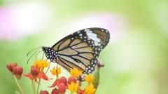 Monarch Butterfly fead- fly away Stock Footage