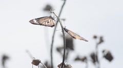 Monarch butterflies Stock Footage