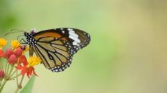Monarch butterfly feeding Stock Footage