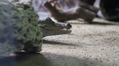 Caiman crocodile on land, basking in the sun Stock Footage