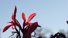 Red Flower Close Up - stock footage