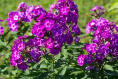 Phlox paniculata (garden phlox) in bloom Stock Photos