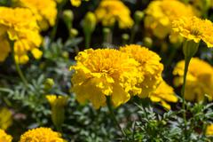 Yellow aster flowers in the garden Stock Photos