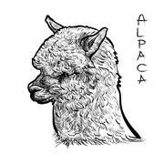 Alapca Stock Illustration