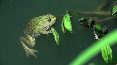 Frog swimming in a muddy lake Stock Footage