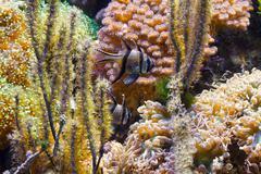 Pterapogon fish in aquarium Stock Photos
